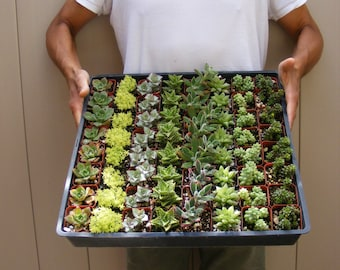 12/24/36 Assorted Succulent Plants 2 inch pot !! Great for wedding party favors