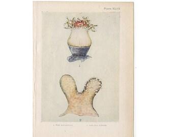 c. 1907 CORAL PRINT - antique marine life print - ocean print - beach - sea life lithograph