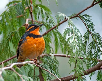 Varied Thrush bird image, Nature Photo, Bird Photo, wildlife photo.