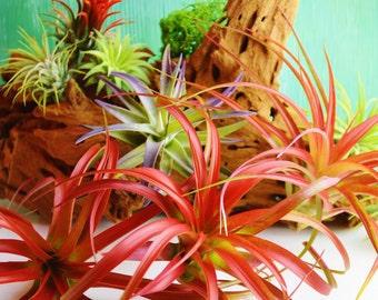 Brachycaulos Abdita Airplant - Plant only ~ Grows to 4 - 6 inches ~ Red ~ Red grows out Green ~ Gift ~ Small