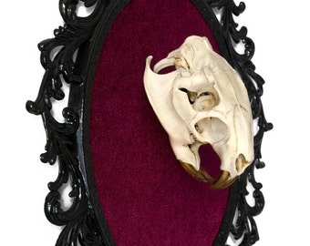 Real Beaver Skull with Gold Teeth on Red Velvet - Victorian Framed Object - Wall Art Decor 10x13in