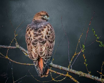 Red Tailed Hawk, Interior Design Downloads