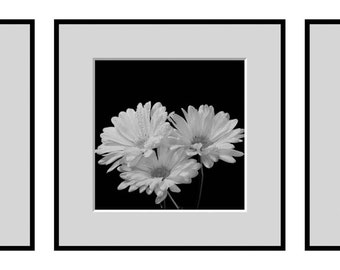 Flower Photography, Triptych of  Astors in Black and White Fine Art Photography