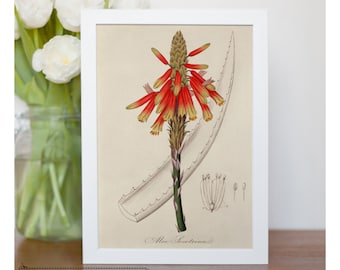 "Illustration of  Aloe - framed fine art print, botanical art, 8""x10"" ; 11""x14"", FREE SHIPPING 065"