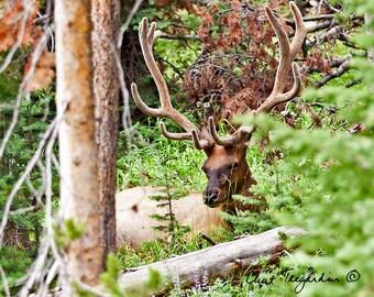 Bull Elk Wildlife Photograph