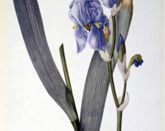 Iris Pallida - Cross stitch pattern pdf format