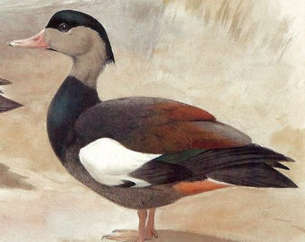 Crested Shelduck or on the Reverse Side a Silvery Cheeked Hornbill to Frame or for ATCs, Collage, Scrapbooking, Paper Arts and MORE PSS 2952