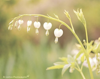 Anniversary Gift - Flower Photography - Nature Photography - Hearts - Romantic - Love - Fine Art Photography Print - Green White Home Decor