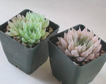 Succulent Window Plant Haworthia 3 Inch Pot