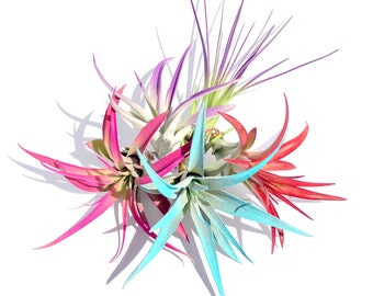 Air Plant Fun Pack Mix of 20 Plants