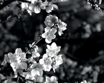 Crab Apple 5 Limited Edition Photo by DENISE SLOAN