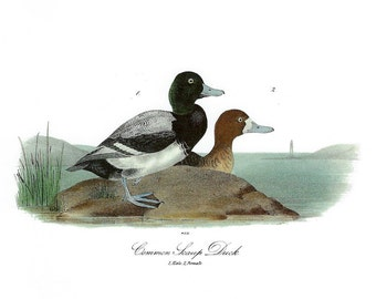 Audubon Common Scaup Duck for Framing, Collage, Scrapbooking, Paper Arts, Assemblage and MORE PSS 2853