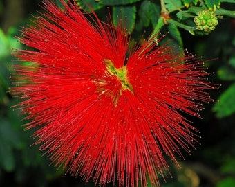 CALLIANDRA TWEEDII - With Love (Red Powder Puff)