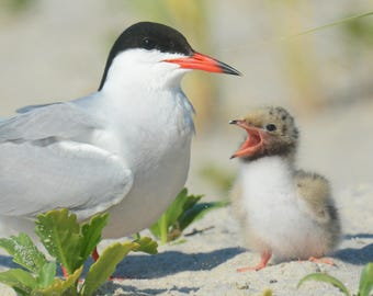 Framed Common Tern parent and chick