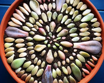 Special**Succulent leaves/succulents propagation/succulent cuttings/gifts/DIY