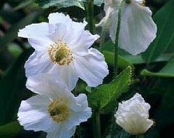 30+ White Poppy Misconopsis / Perennial Flower Seeds
