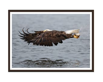 Bald Eagle and Fish in Flight