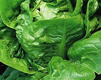 Little Gem Lettuce Heirloom Garden Seed Non-GMO 200+ Seeds Best-Tasting Micro Greens Gardening