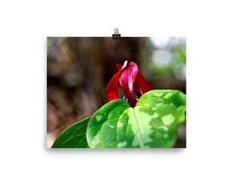 Red Trillium, Wildflower, Wildflower photography, Wildflower wall art, Nature photography, Flower, Red Flower
