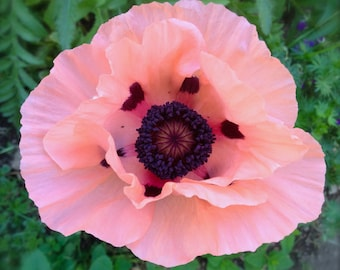 Pink Oriental Poppy Perennial Heirloom Seeds Very Rare Variety Huge Spring Blooms on Large Plants Easy to Grow