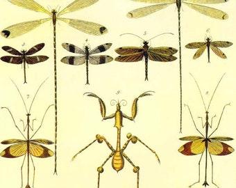 Dragonfly Praying Mantis & Walking Violin Insects Seba Entomology Vintage Natural History Bug Lithograph Chart Poster Print