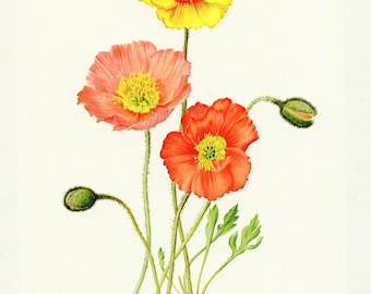Iceland poppy flower wall art 1972 Vintage poppy botanical art Icelandic poppy botanical print orange poppy botanical art Island mohns