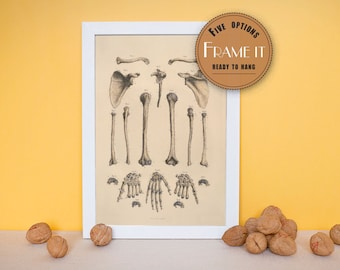 """Vintage illustration of bones of the upper extremities - fine art print, art of anatomy, home decor 8""""x10"""" ; 11""""x14"""", FREE SHIPPING - 182"""