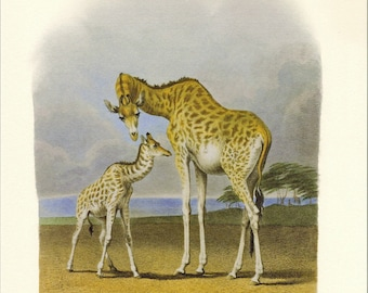 Hill's Mother Giraffe and Her Newborn Illustration Natural History Print with 3 Bird Charts on the Reverse Side of the Page PSS 2055