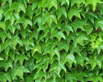 Organic Boston Ivy Green Showers - Strong-Growing, Self-Clinging plant