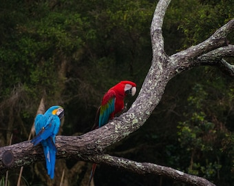 Colourful Macaw Birds Photo Print Wall Art Print Photography
