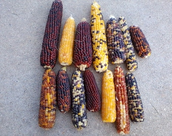 "Mini Indian corn, 50 count, 3"" to 7"", NO HUSK"