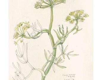 Sea fennel plant drawing, Botanical PRINT plant watercolor drawing. Sea fennel, botanical art by Catalina.
