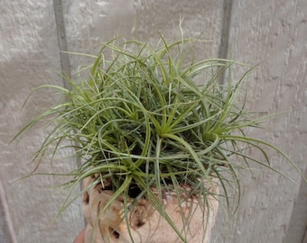 Tillandsia Aeranthos Hybrid Ball/Clump Air Plants