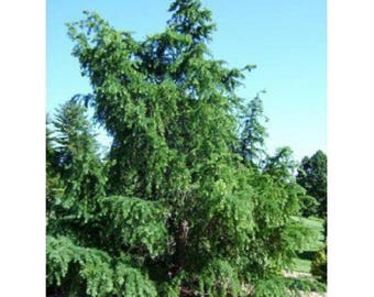10 Japanese Larch Tree Seeds, Larix leptolepsis