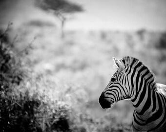 Zebra Fine Art Photography - Wildlife Art - Modern Wall Art - Black and White Photo - Monochrome Wild Animal