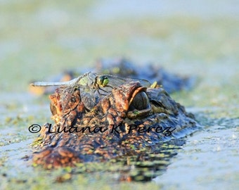 Alligator Photo with Dragonfly on Head