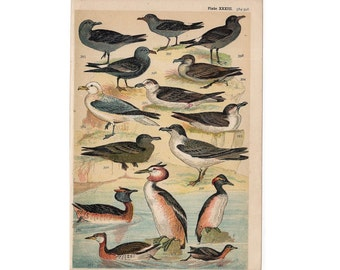 1904 ANTIQUE BIRD LITHOGRAPH - water birds print original antique ornithology color lithograph - gull grebe tern