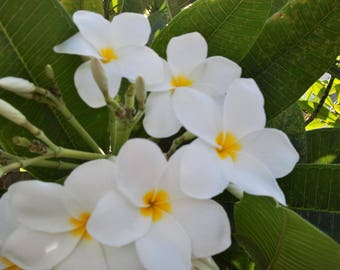 Plumeria Frangipani White Cuttings Fragrant Tropical 8+ inches 1-2 Tip