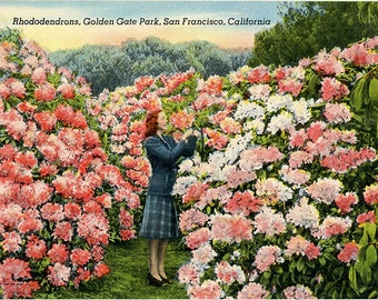 San Francisco California Golden Gate Park Rhododendrons Vintage Postcard