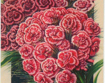SWEET WILLIAM (Double) Vintage Tucker's Flower Seed Packet Lithograph from Carthage Missouri