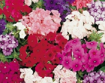 30+ Petticoat Dwarf Mix Phlox / Fragrant Shade Loving Perennial