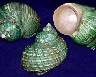"Polished Jade Turbo Burgess Shell ~ 3-1/2"" - 4"" Turban Seashell ~ Makes a Beautiful Show Peace Display ~ Free Shipping"