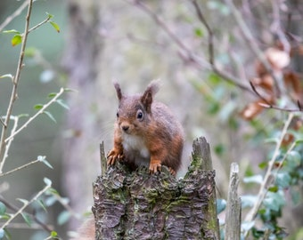 Red Squirrel - i see you too!