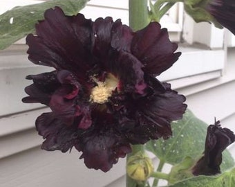 20 seeds black hollyhock Free Shipping