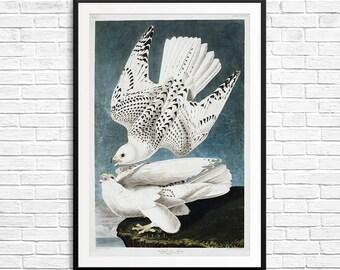 Falcon painting, falcon poster, Gyrfalcon, predatory bird, bird of prey, audubon society, audubon birds, bird prints, Iceland Falcon print