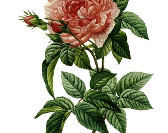 Rosa Gallica Regalis - Cross stitch pattern pdf format