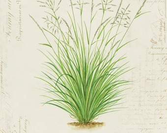 "Vintage Botanical Plant Grass ""Tussock Grass"" on French Ephemera Print 8x10 P115"