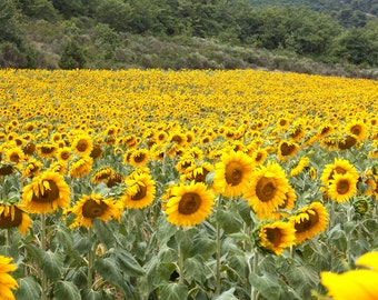 Sunflower print, Sunflower canvas, field in Provence, France photo, Van Gogh's sunflowers print