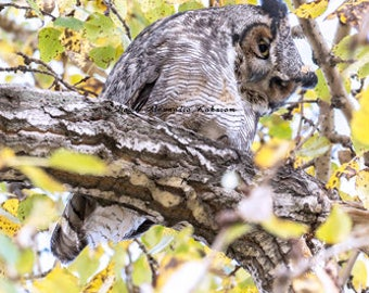 Great Horned Owl - Hello There!