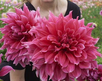 2 Dinner Plate #1 Size Dahlia Tuber/Root/Bulb 'Emory paul' Shipping April 2018